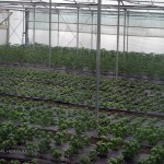 Basil in polytunnel at Riverord Organics