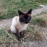 Blue eye cat in Georgia