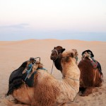 Camel love, Tunisia