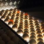 Checking turkey eggs, Kelly Bronze, Essex