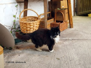 Cider cat in Cornwall