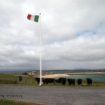 Cows under Italian flag on Orkney