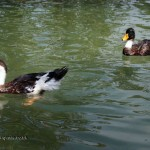 Ducks in Georgia