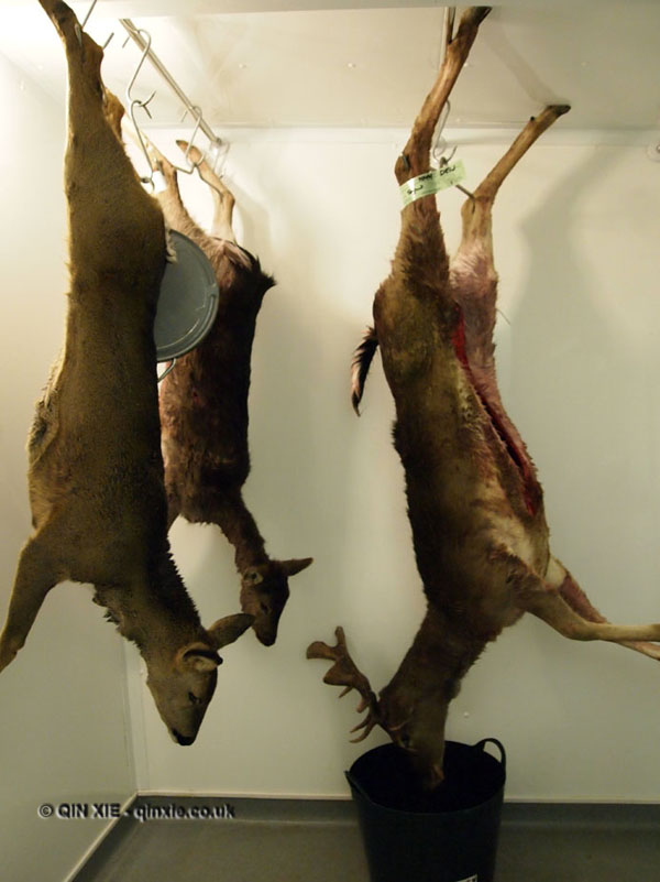 Hung venison in Cornwall