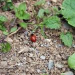 Ladybird at Riverord Organics