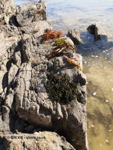 Seaweed, Jersey