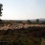 Shepherd with flock in Georgia