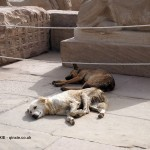 Sleeping dogs, Karnak Temple, Luxor