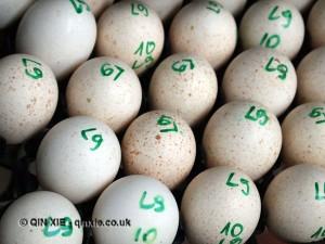 Turkey eggs numbered, Kelly Bronze, Essex