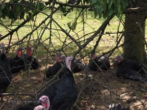 Turkey in foliage at Copas farm