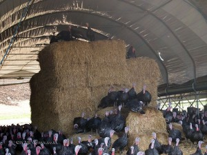 Turkey on hay at Copas farm