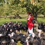 Turkey gather around red at Copas farm