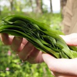 Wild garlic leaves at Riverord Organics