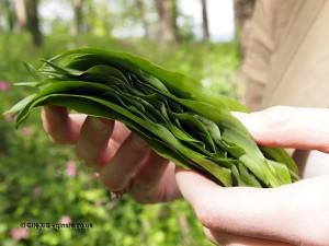 Wild garlic leaves at Riverord Organics