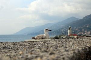 Seagull, Camogli