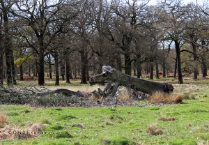 A log resembling a dog, Richmond Park