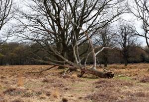 Fallen tree, Richmond Park