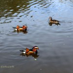 Mandarin ducks in the pond at Isabella Plantation, Richmond Park
